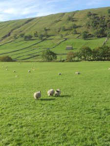 The Yorkshire countryside: image of sheep and rolling green hills.