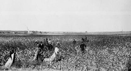 Black and white photograph of African Americans working in the cotton field